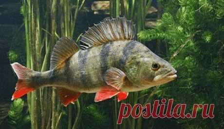 Особенности поведения рыбы зимой Возьмем для примера окуней и щук. Исследования показали, что в зимний период желудок у окуней уменьшается и становится размером с грецкий орех. Окунь практически перестает кормиться мальком уже при температуре ниже 5 градусов Цельсия. Его метаболизм замедляется: в этот период рыба питается маленькими порциями и не так активно, как в теплое время года. Чем ниже температура, тем больше окунь склонен к употреблению мелкой пищи – личинок, насекомых, мотыля. За зиму