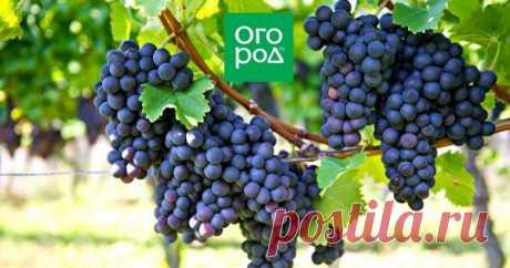 Уход за виноградом в августе: 4 самые важные процедуры Уход за виноградом в августе подразумевает несколько обязательных действий, которые гарантируют богатый и вкусный урожай.