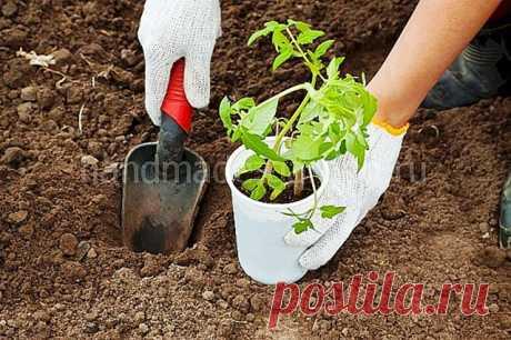 Посадка рассады помидор в открытый грунт в 2021 году: благоприятные дни