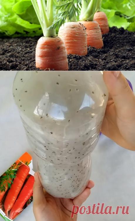 Быстрая посадка моркови. Сосед рассказал секрет с крахмалом и бутылкой