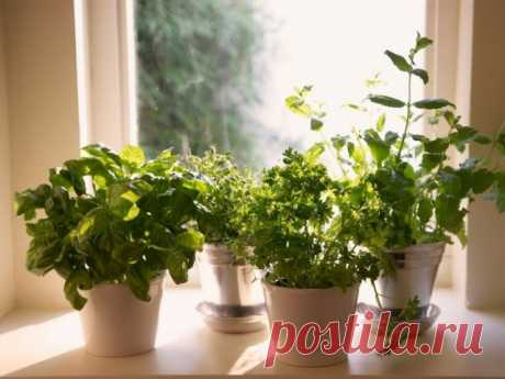 Irreplaceable greens for a kitchen garden on a window sill. Cultivation of spicy herbs in house conditions. The photo is Ботаничка.ru