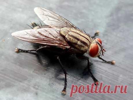 Домашние мухи: способы борьбы Добрый день, мой читатель. Домашние мухи очень быстро размножаются. Они селятся на отходах пищевых продуктов, в мусорных контейнерах, являясь переносчиками дизентерии, сальмонеллеза, тифа и других опасных заболеваний. Важно своевременно начинать борьбу с летающими назойливыми насекомыми, чтобы предупредить негативные последствия. Муха. Иллюстрация с сайта... Читай дальше на сайте. Жми подробнее ➡