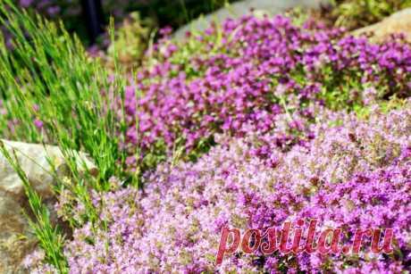 Чабрец - уникальное лечебное растение   Prosad.ru: Все про сад и дачу   Яндекс Дзен