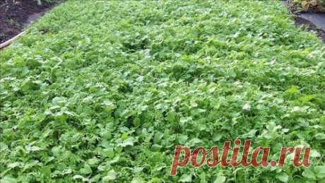 Заделка сидератов в почву осенью: 5 основных правил Сидераты — травы, выращиваемые для улучшения структуры почвы, повышения её плодородия, уничтожения грибковых болезней. Агротехнический приём приносит ощутимую пользу при соблюдении правил посадки и заделывания зелёной массы в грунт.