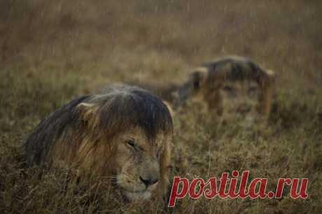 Большие кошки, которые просто хотят заниматься обычными кошачьими делами / Питомцы