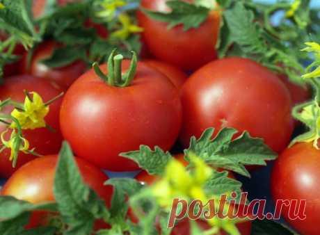 Золотые правила выращивания томатов: