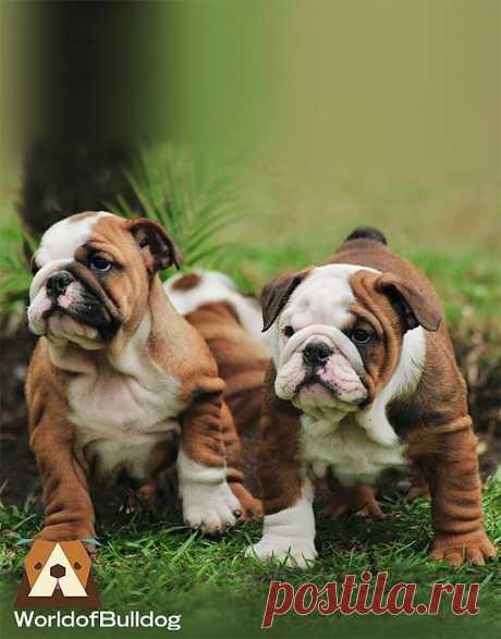 WorldofBulldog — WorldofBulldog here comes twubble..