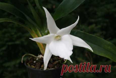 Сегодня в Ботаническом саду МГУ представят Белую Красавицу и Пасть Тигра – две прекрасные и очень редкие орхидеи.