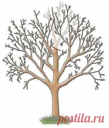 Как обрезать садовые деревья?  Яблони, груши и прочие плодовые культуры дают обильный урожай пока молодые. С возрастом их плоды заметно мельчают, а сами растения чаще болеют. Но отчаиваться не стоит – вернуть деревьям былую силу можно с помощью обрезки. И делать ее лучше всего в феврале. Омолаживающая обрезка убивает сразу трех зайцев: плоды становятся крупнее, урожайность увеличивается на 20–60%, повышается морозостойкость деревьев и к тому же их проще обрабатывать от бол...
