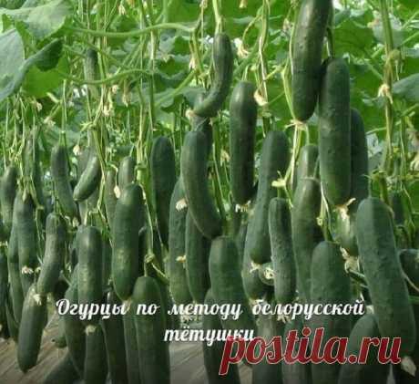 Сажаю огурцы по методу белорусской тётушки. Урожай бомба! — Смотрим с оптимизмом
