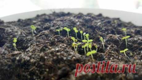 Выращивание клубники (садовой земляники) из семян в домашних условиях. Фото - Ботаничка.ru
