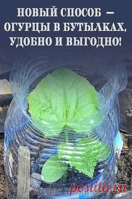 Как посадить и вырастить огурцы, наслышаны все огородники. Однако всегда находятся те, кто подходит к процессу творчески.