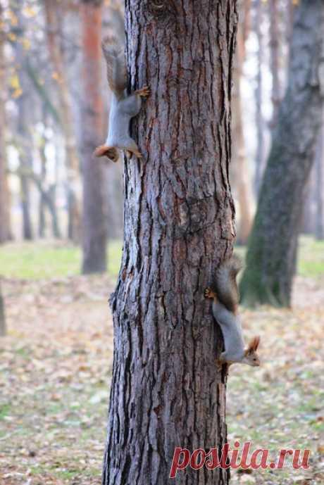Игривые белки резвятся на стволе сосны. Автор снимка — Мария Бибик: nat-geo.ru/community/user/167275/