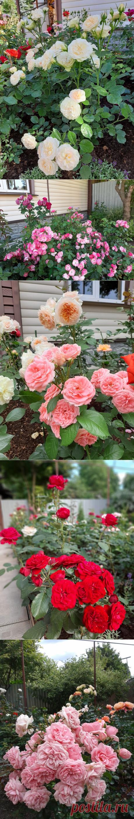 8 самых неприхотливых, красивых и надёжных сортов роз   Майя о розах и не только   Яндекс Дзен
