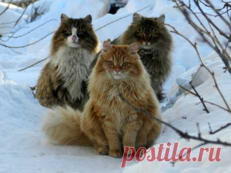 Сибиряки.