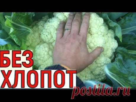 CULTIVATION OF THE CAULIFLOWER FROM SEEDS TILL THE HARVEST
