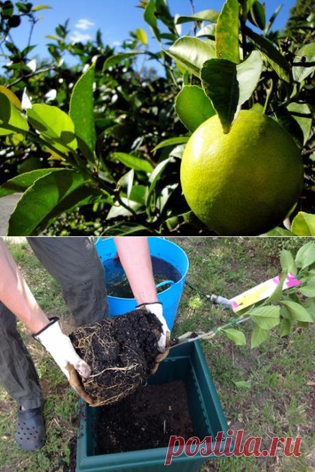 Как ухаживать за лимоном в горшке в домашних условиях чтобы он плодоносил