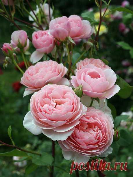 Кустовые розы на даче: особенности ухода