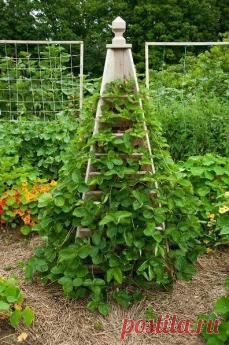 Выращивать клубнику можно еще и вот так!