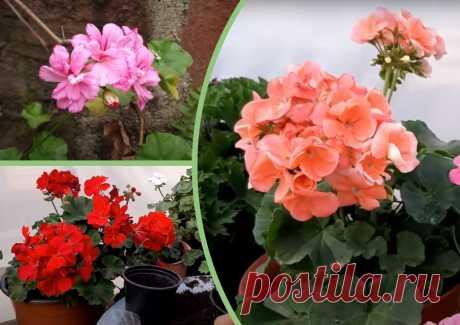 Моей герани завидуют соседи. Делаю 1 подкормку, после нее пышно цветут даже самые капризные растения (и без всяких хлопот) | Agronom Guru 🌻🍏 | Яндекс Дзен