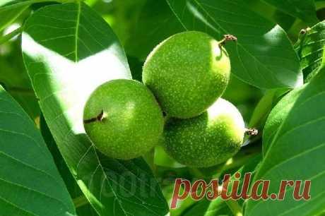Настойка зеленого грецкого ореха на водке - применение