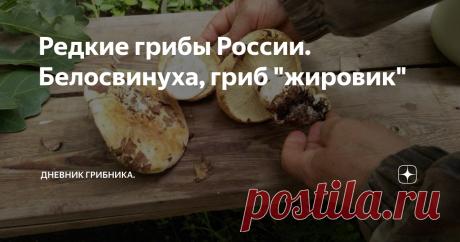 """Редкие грибы России. Белосвинуха, гриб """"жировик"""" Нынешний нестандартный сезон обделил грибами Среднюю Полосу. На Юге наоборот -  грибов необычно много, даже редкие виды грибов встречаются чаще, чем обычно. Одина из таких редкостей - белосвинуха. Находят ее нынче часто, как никогда. Гриб крупный, мясистый, почти не вызывает сомнений, что съедобный, но незнакомый же! Поэтому лента в ВК пестрит фото   с вопросами - что это? Белосвинуха (Leucopaxillus) — род грибов семейства Р..."""