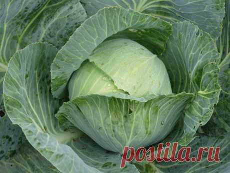 Очень урожайный сорт капусты, который предназначен исключительно для длительного хранения | Огородомания: сад, огород, дача | Яндекс Дзен