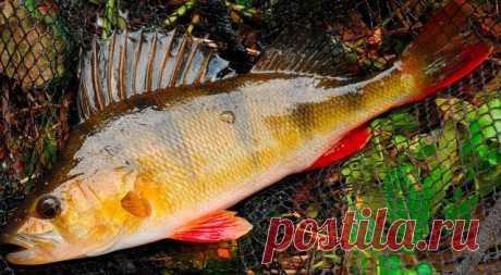 Ловля окуня Рыбаки с богатым опытом ловли окуня отзываются об этой рыбе как об очень хитром создании. При помощи простых советов бывалых рыбаков, учитывающих все повадки окуней, ваша рыбалка превратится в захватывающее времяпровождение с хорошим уловом.