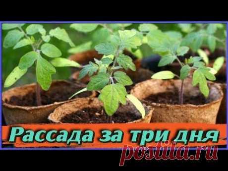 Рассада за 3 дня Как правильно сеять СЕМЕНА НА РАССАДУ Ускоряем всхожесть семян НЕОБЫЧНЫМ СПОСОБОМ - YouTube