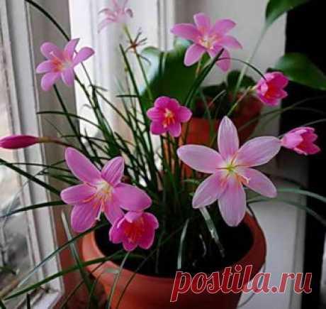 Зефирантес — комнатный цветок. Посадка, уход и размножение семенами