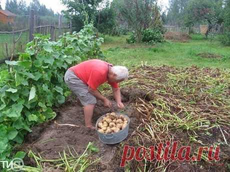 Знакомьтесь. Это Владимир Иванович Картелев — профессиональный агроном и владелец собственного приусадебного участка, а ещё — автор уникального метода выращивания овощей и других культур (60 наименований), позволяющего получить хороший урожай при любых погодных условиях.  73-хлетний Владимир Иванович живет в деревне Волжанка Кашинского района вдвоем с супругой. Пенсии небольшие, а потому всем, что даст им огород, кормятся в течение целого года. На приусадебном участке Карт...