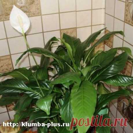 Спатифиллум » Комнатные растения, садовые цветы, выращивание овощей, уход за садом