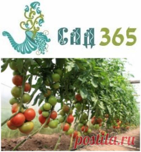 Не завязываются помидоры в теплице - что делать   Сад 365