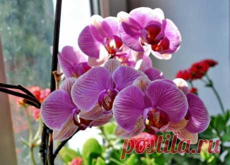 Фаленопсис: от покупки до нового цветения.