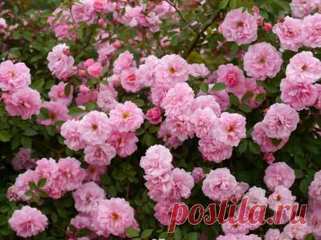 Неукривні троянди канадської селекції в Україні — найнадійніші сорти Які троянди не потрібно вкривати на зиму? Які - не хворіють, але при цьому ще й дуже красиві? Є такі! Це сорти троянд канадської селекції. Опис, фото, догляд - в статті.