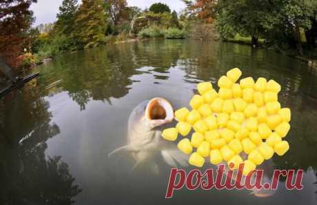 Обловим всех: Уловистая насадка - плавающая кукуруза