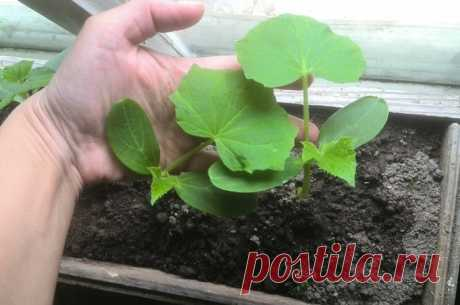 Почему сею огурцы в марте. Выращиваю крепкую рассаду для раннего урожая | Дачные секреты от Виктории Радзевской | Яндекс Дзен
