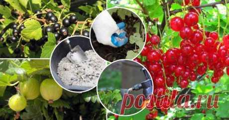 Чем подкормить смородину в июне, лучшие составы для подкормки черной, красной и белой смородины летом, как правильно подкармливать кусты