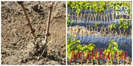 Уход за виноградом с весны до осени – полезные советы начинающим | Виноград (Огород.ru)