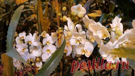 Выращивание орхидей от А до Я   Виталий Декабрев   Яндекс Дзен