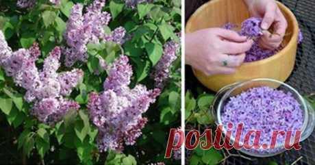 Zrób to u szczytu kwitnienia: wypełnij litrowy słoik olejem roślinnym i fioletowymi kwiatami... - Smak Dnia