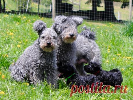 «Пуми ― венгерская порода пастушьих собак среднего размера.» — карточка пользователя Валентина в Яндекс.Коллекциях