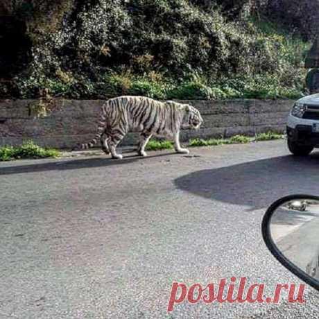 Прибыв в Палермо, циркач Оскар решил прогуляться по городским улочкам. Все бы ничего, если бы он не был тигром.