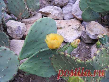 раз в 20 лет цветет этот кактус