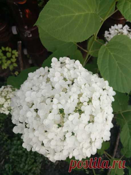 Гортензия древовидная «Abetwo» (Hydrangea arborescens «Abetwo») — улучшенная версия гортензии Анабель.