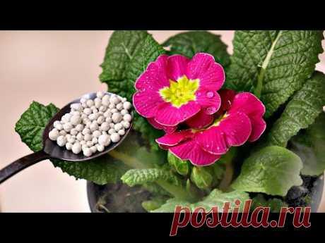 Хотите цветущие подоконники весной кормите этим домашние цветы! Калимагнезия для домашних растений!