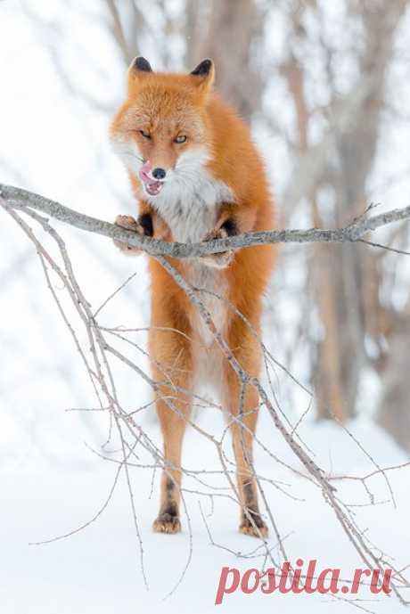 Сама хитрость. Камчатка. Автор фото – Денис Будьков: nat-geo.ru/photo/user/1438/