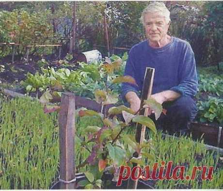 Как вырастить саженец яблони воздушным отводком — Огород без хлопот