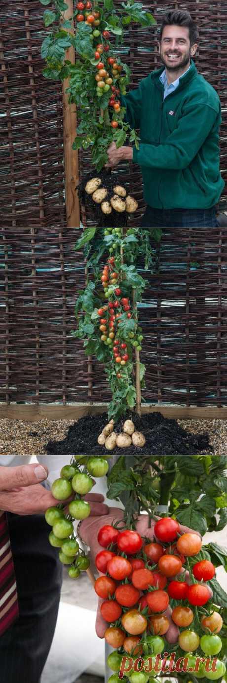 Британцы научились получать помидоры и картошку с одного куста | MirFactov — всё самое интересное!