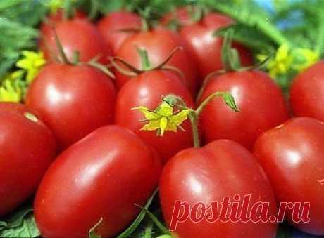 Подкармливать помидоры следует через 2 недели с момента посадки и до середины августа. Рецепты подкормки помидор в открытом грунте: 1. Добавляем в ведро воды 4 капли йода и поливаем помидоры раз в неделю, расходуя на растение 2 литра воды. Это удобрение помогает плодам быть крупнее и созревать раньше. 2. Заполняем 200-литровую бочку на 1/3 листьями крапивы и одуванчиков, добавляем туда ведро навоза и заливаем воду в бочку до краев. Накрываем бочку пленкой на 10 дней. Снимаем всплывшее соде